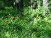 Rezervatia de bujori salbatici de la Plenita
